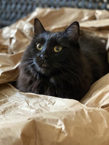 Lost Female Cat last seen Ghent On the Square apartments, Norfolk, VA 23507