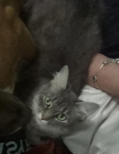 Lost Female Cat last seen Diamond springs, Virginia Beach, VA 23455
