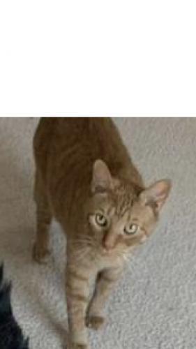 Lost Male Cat last seen Carriage Mill, Virginia Beach, VA 23464