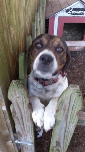 Lost Male Dog last seen Near Hollins Court Chesapeake,Va, Chesapeake, VA 23320
