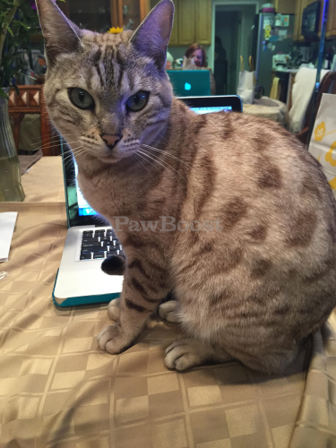 Lost Female Cat last seen Martinez and Lambert (oeste Park), La Habra, CA 90631