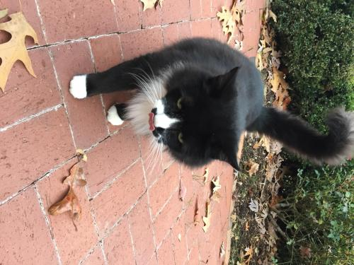 Lost Male Cat last seen Hope Valley , Durham, NC 27707