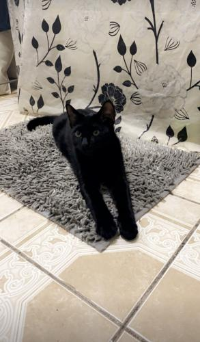 Lost Male Cat last seen American Parkway and Linden Street, Allentown, PA 18101