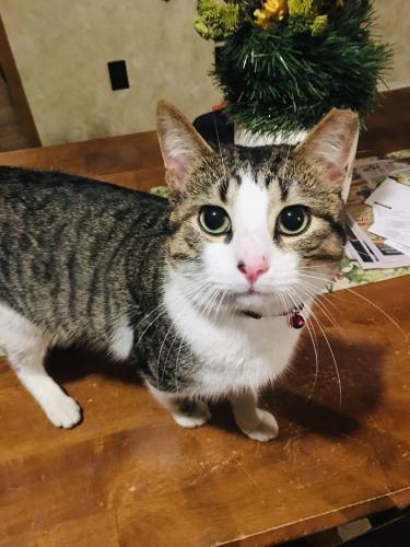 Lost Male Cat last seen Hawkey Lane, Sylvan, Bobcat Trail, Pocono Summit, PA 18346
