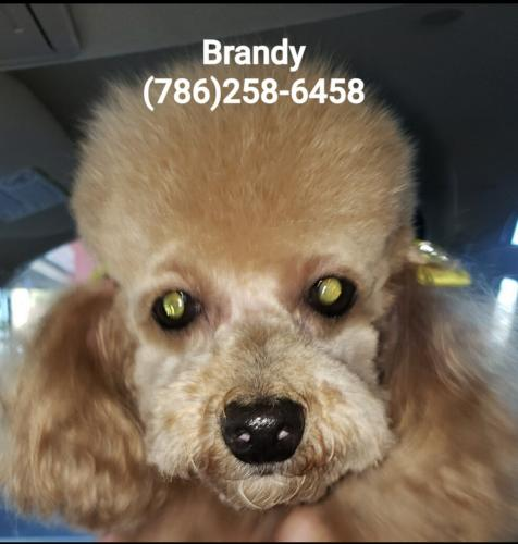 Lost Female Dog last seen SW 108 Place and SW 28 Street, University Park, FL 33165