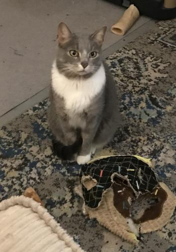 Lost Female Cat last seen Cherry Lane/Boxwood Drive, Chesapeake, VA 23323