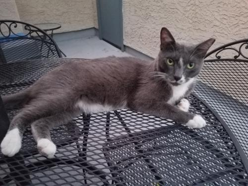 Lost Male Cat last seen 59th Ave/ Vogel (or Olive Ave), Glendale, AZ 85302