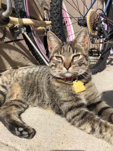 Lost Female Cat last seen Near S Columbus Ave , Glendale, CA 91204