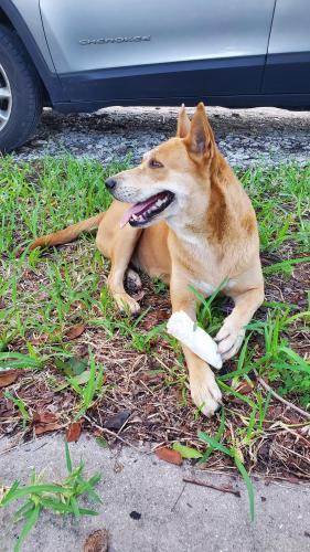 Found/Stray Female Dog last seen Allapattah, Miami, FL, Miami, FL 33142