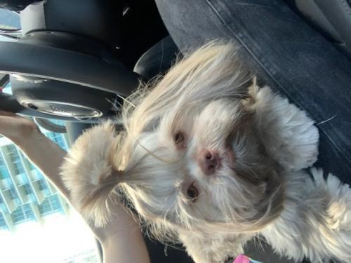 Lost Female Dog last seen Bird Ave & Virginia , Miami, FL 33133