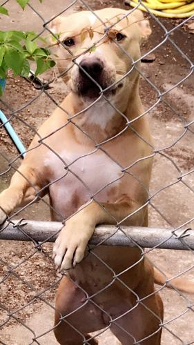 Lost Female Dog last seen Hialeah hospital , Hialeah, FL 33013