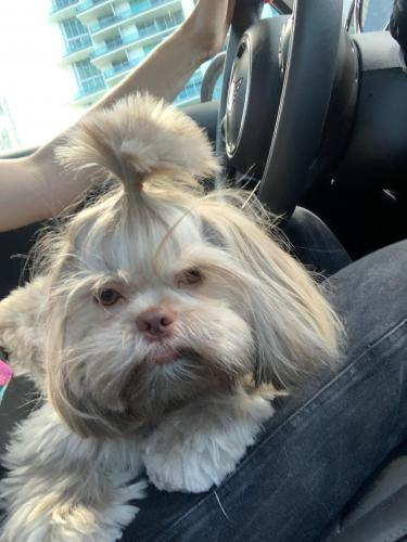 Lost Female Dog last seen Bird Ave & Virginia, Miami, FL 33133