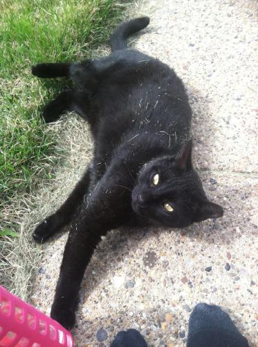 Lost Male Cat last seen Spring Street, possibly in alley behind houses , Bethlehem, PA 18018