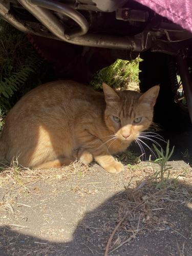 Found/Stray Unknown Cat last seen Culver Blvd. & Elenda , Los Angeles, CA 90066