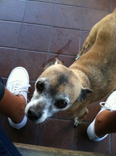 Lost Female Dog last seen Park Lane and Bell Avenue, Bell, CA 90201