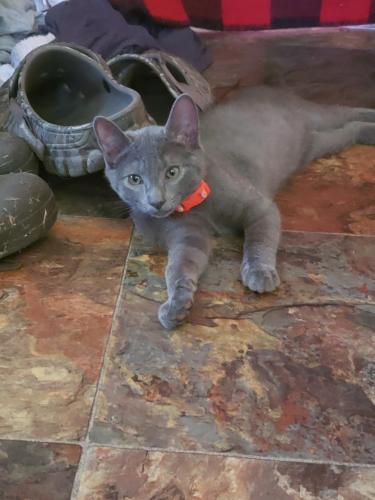 Lost Male Cat last seen Bowers hill , Chesapeake, VA 23321
