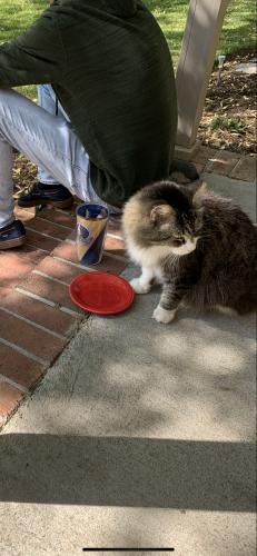Lost Male Cat last seen Food Lion Yadkin Rd Deep Creek, Chesapeake, VA 23323