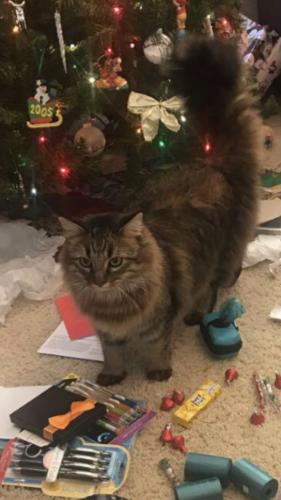 Lost Female Cat last seen Farris Drive & Kelly Glen - neighborhood west of Boles MS, Arlington, TX 76017