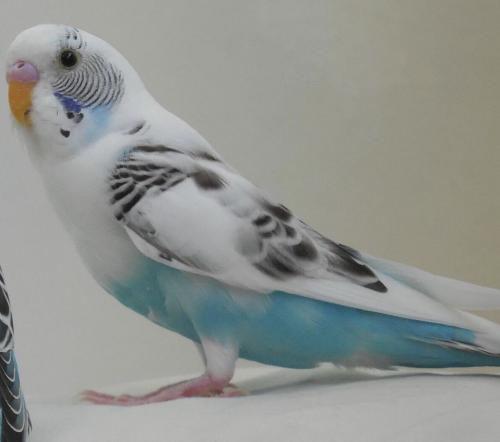 Lost Male Bird last seen Camile St & Arapaho Dr., Santa Ana, CA 92704