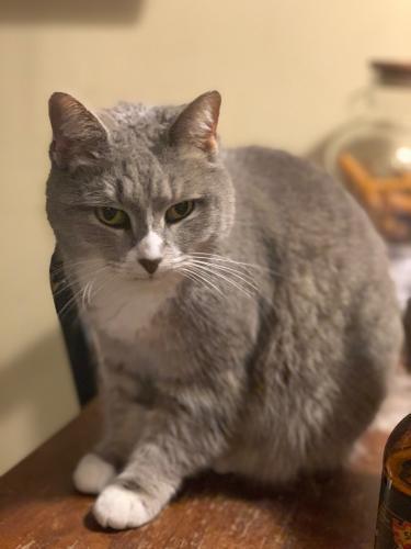 Lost Female Cat last seen Parker Rd., Mt. Carmel Church Rd., Edgewood Rd., Chapel Hill, Chapel Hill, NC 27517