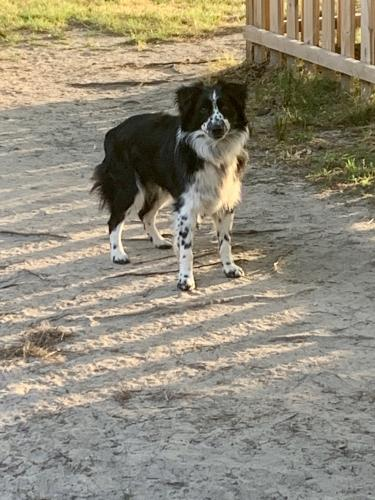 Lost Male Dog last seen Old Honeycutt rd, Fuquay-Varina, NC 27526