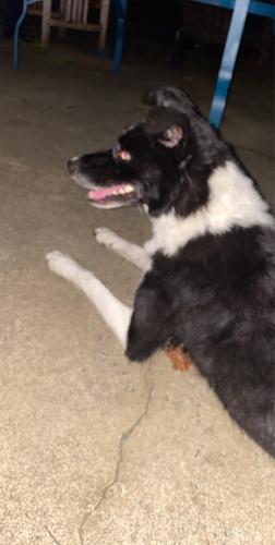 Found/Stray Female Dog last seen Cornwallis Dr, Burlington NC , Burlington, NC 27215