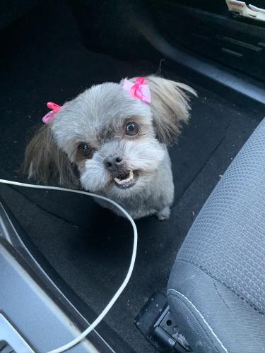 Lost Female Dog last seen Ragus & Puente, La Puente, CA 91746