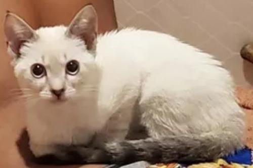 Lost Female Cat last seen Near wybro Ave , Los Angeles, CA 90063