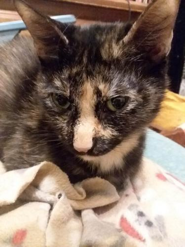 Lost Female Cat last seen Hilltop Village Apartments near Sher Den Mall, Sherman, TX 75090
