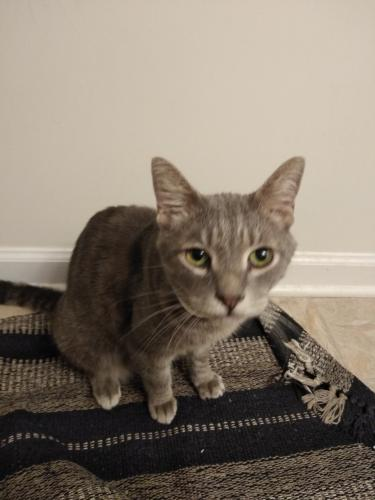Found/Stray Female Cat last seen Gorman St, NC State, Raleigh, NC 27606