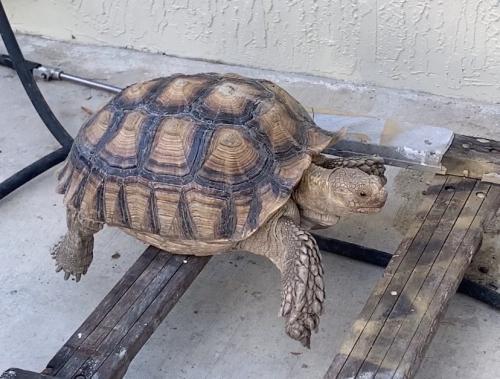 Lost Male Reptile last seen Publix, Miami, FL 33155