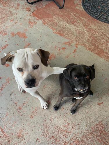 Lost Female Dog last seen Near Sw 117 Ct , Miami, FL 33177