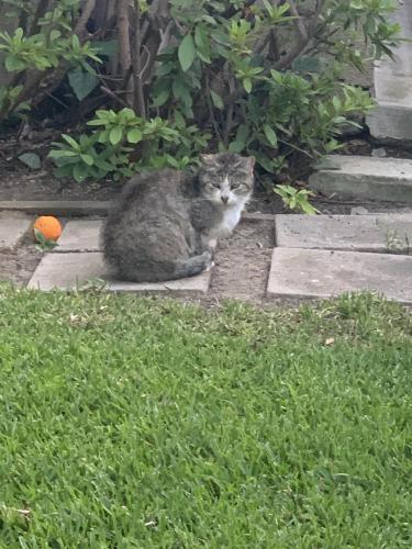 Found/Stray Unknown Cat last seen Ohio and Veteran, Los Angeles, CA 90024
