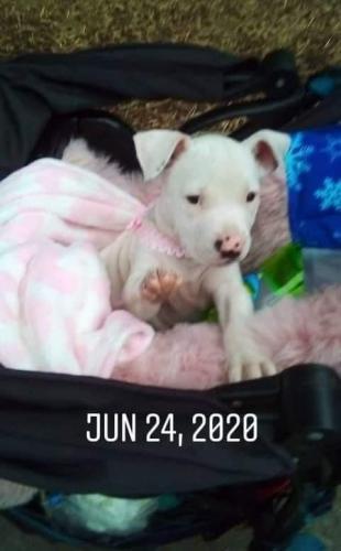 Lost Female Dog last seen Ventura Blvd n. Newcastle avr, Los Angeles, CA 91316