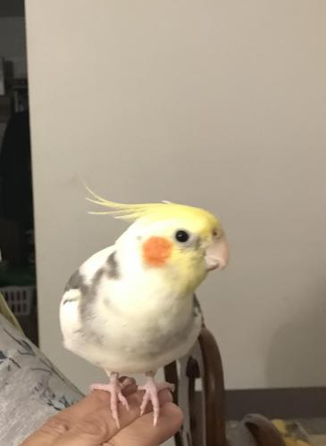 Lost Male Bird last seen Pet Paradise near Kellam Rd, and Constitution Dr., Virginia Beach, VA 23452