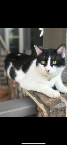 Lost Female Cat last seen Western ave sw , Oklahoma City, OK 73170