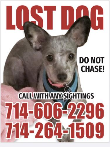 Lost Female Dog last seen Euclid/Malvern, Fullerton, CA 92833
