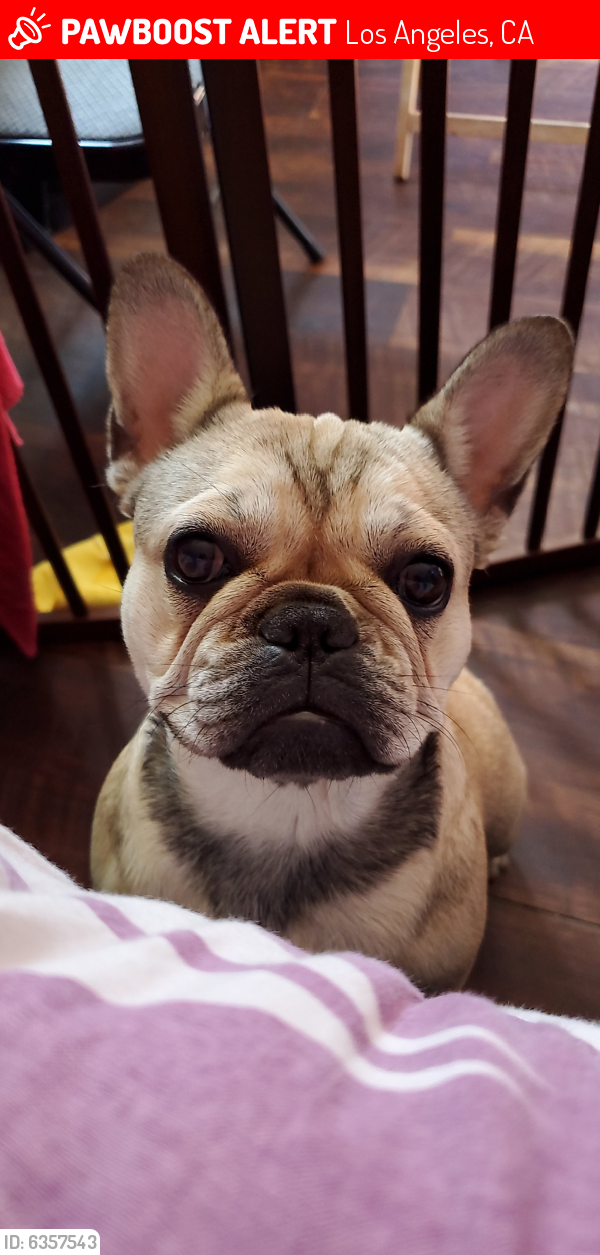 Lost Female Dog last seen 120th street and avalon , Los Angeles, CA 90061