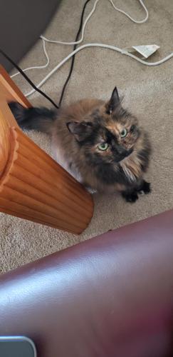 Lost Female Cat last seen Hastings Drive & Lake Jackson Drive, Manassas, VA 20110