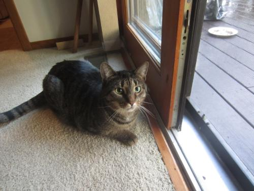 Lost Female Cat last seen Crown Point, N Revere Rd & Ira, Akron, OH 44333