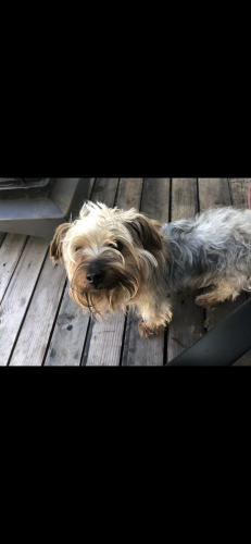 Lost Male Dog last seen Near Smith Oak rd, Sherman, TX 75090