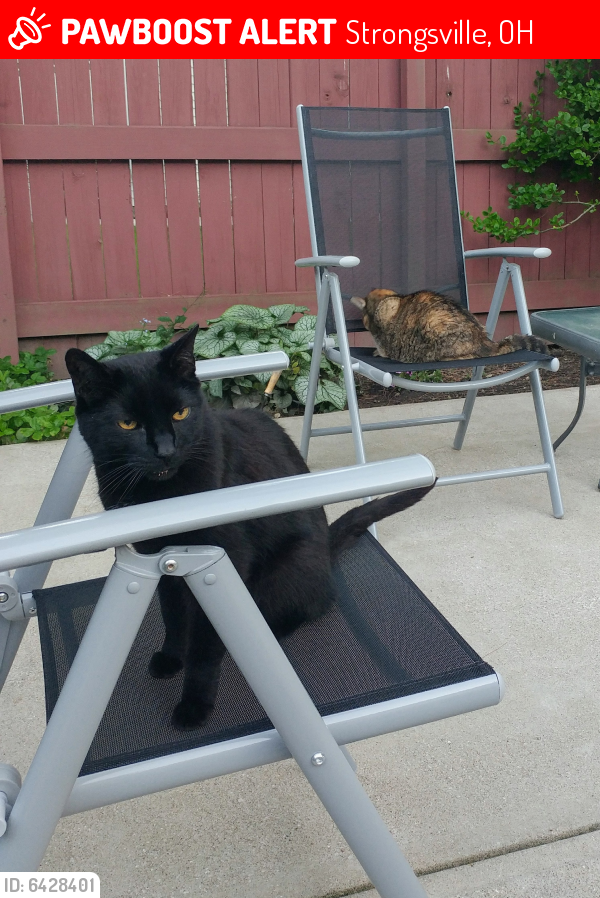 Lost Male Cat last seen Lakeforest Dr., Strongsville, OH 44136