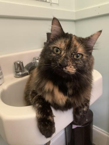 Lost Female Cat last seen Dock Landing Rd and Chadswyck Rd, Chesapeake, VA 23321