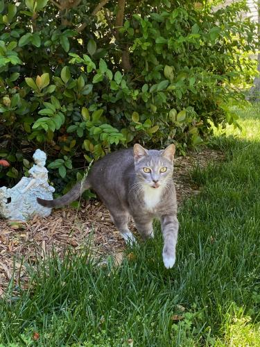 Lost Male Cat last seen jude court and Brandon blvd, Virginia Beach, VA 23464