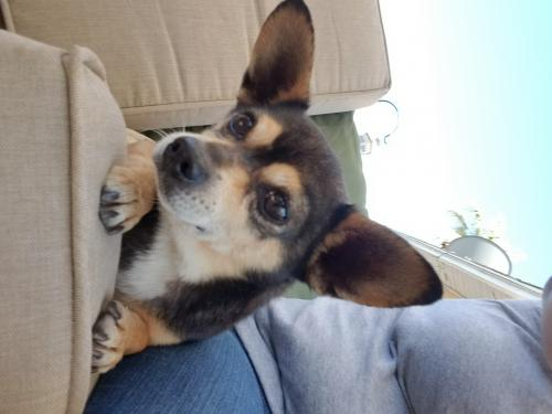 Lost Male Dog last seen Clark St and Wright Rd , Lynwood, CA 90262