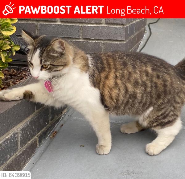 Lost Female Cat last seen Santa Fe and wardlow , Long Beach, CA 90810