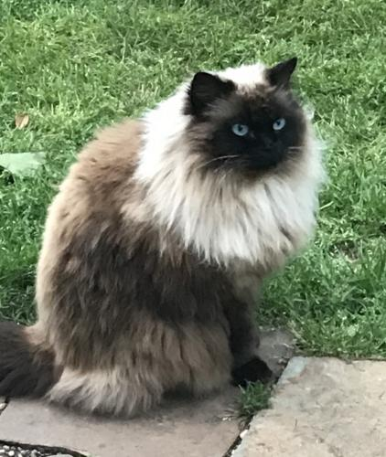 Lost Female Cat last seen Stonebridge Drive /Covey Glen Rd, McKinney, TX 75070