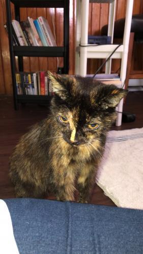 Found/Stray Female Cat last seen Colley ave, Norfolk, VA 23508