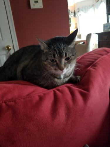 Lost Male Cat last seen Near Blacksmith ArchYorktown , Yorktown, VA 23693
