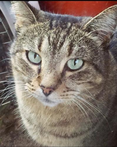 Lost Female Cat last seen Near Repsdorph RD. Seabrook, TX. 77586, Seabrook, TX 77586